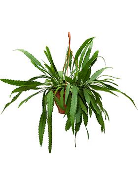 Lepisimum houlletianum 40 cm Cactus - Hariota Boliviana
