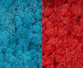 Licheni curatati si fara radacina 500g, 2 culori albastru azur cu roz cyclamen