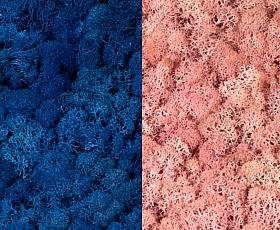 Licheni curatati si fara radacina 500g, 2 culori albastru clasic deschis cu roz deschis