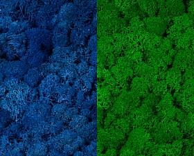 Licheni curatati si fara radacina 500g, 2 culori albastru clasic deschis cu verde intens