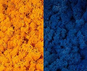Licheni curatati si fara radacina 500g, 2 culori galben intens cu albastru clasic deschis