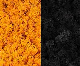 Licheni curatati si fara radacina 500g, 2 culori galben intens cu negru