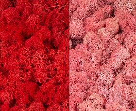 Licheni curatati si fara radacina 500g, 2 culori rosu intens cu roz