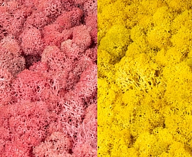 Licheni curatati si fara radacina 500g, 2 culori roz cu galben lemon deschis