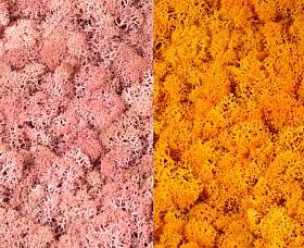 Licheni curatati si fara radacina 500g, 2 culori roz deschis cu galben intens