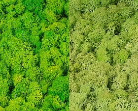 Licheni curatati si fara radacina 500g, 2 culori verde deschis cu verde menta