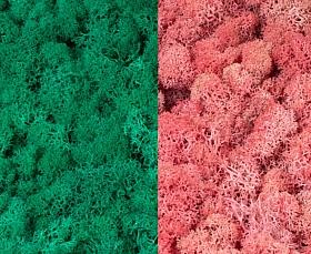 Licheni curatati si fara radacina 500g, 2 culori verde pacific cu roz