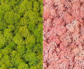Licheni curatati si fara radacina 500g, 2 culori verde primavara cu roz deschis