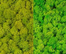Licheni curatati si fara radacina 500g, 2 culori verde primavara cu verde deschis