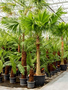 Livistona chinensis D225xH400 cm Palmierul ventilator