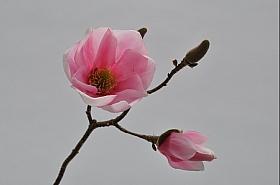 Magnolia 34 cm roz DE