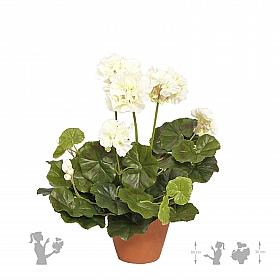 Muscata 30 cm alb Geranium
