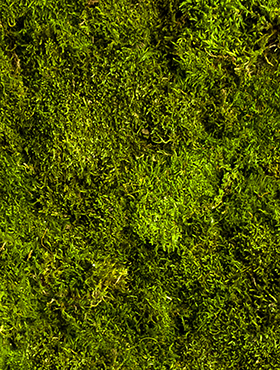 Muschi conservat plat 1 kg (necesar 1,3 kg / mp) verde inchis calitate premium