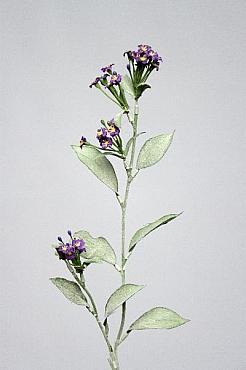 Myosotis 60 cm HO albastru Floarea Nu-ma-uita