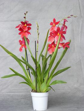 Orhidee Cambria nelly isler 70 cm 94727 Beallara