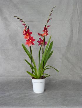 Orhidee Cambria nelly isler 70 cm Beallara