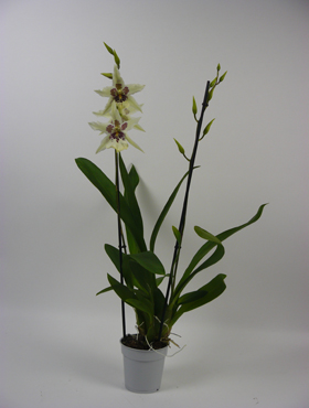 Orhidee Cambria tahoma 70 cm Beallara - Orhidee paianjen