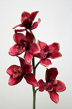 Orhidee Cymbidium 60 cm HO burgundy
