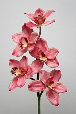 Orhidee Cymbidium 60 cm HO roz - somon
