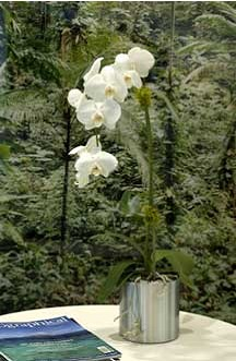 Orhidee naturala in ghiveci metalic rotund President inox 37x38 cm