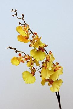 Orhidee Oncidium 90 cm HO galben