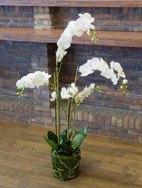 Orhidee Phalaenopsis 130 cm