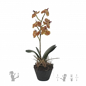 Orhidee Phalaenopsis 30 cm HO