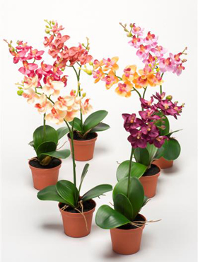Orhidee Phalaenopsis 32 cm