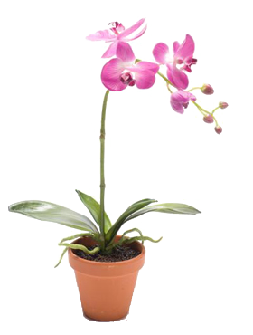 Orhidee Phalaenopsis 45 cm