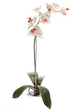Orhidee Phalaenopsis 55 cm