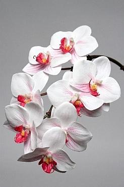 Orhidee Phalaenopsis 60 cm HO alb