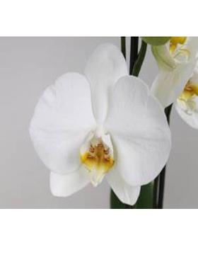 Orhidee Phalaenopsis 70 cm Orhidee Moth - Phal