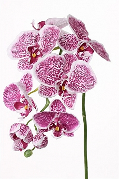 Orhidee Phalaenopsis 75 cm violet