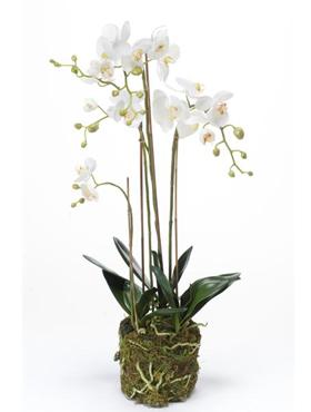 Orhidee Phalaenopsis 80 cm