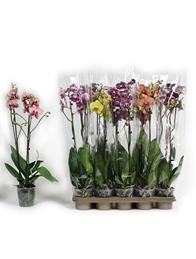 Orhidee Phalaenopsis exclusive mix D25xH65 cm Orhidee Moth - Phal
