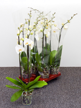 Orhidee Phalaenopsis ikaria D25xH75 cm Orhidee Moth - Phal