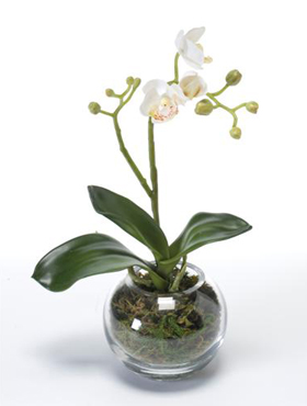 Orhidee Phalaenopsis in vas de sticla 30 cm