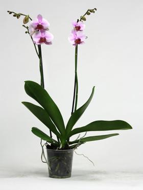 Orhidee Phalaenopsis jakura heimei 60 cm Orhidee Moth - Phal