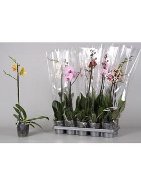 Orhidee Phalaenopsis mixt 65 cm 85642 Orhidee Moth - Phal
