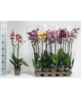 Orhidee Phalaenopsis mixt 65 cm Orhidee Moth - Phal