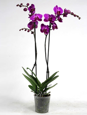 Orhidee Phalaenopsis party time 60 cm Orhidee Moth - Phal