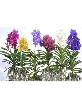 Orhidee Vanda mixt D30xH80 cm Orhidee