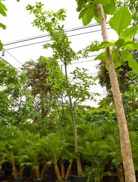 Pachira aquatica 375 cm Castan Malabar - Nuci Saba - Arborele norocos