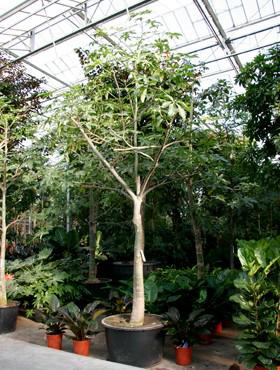 Pachira aquatica 525 cm Castan Malabar - Nuci Saba - Arborele norocos