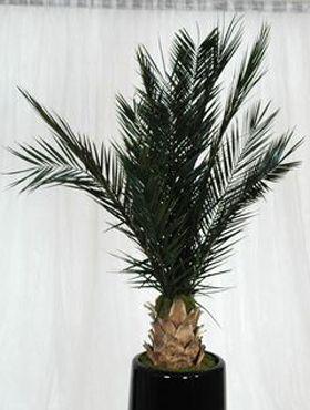 Palmier Phoenix 150 cm