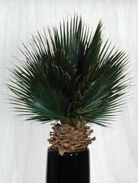Palmier Washingtonia 150 cm