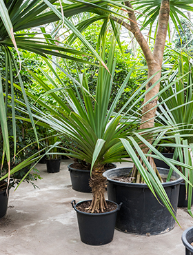 Pandanus utilis 250 cm Hala - Planta care inteapa mana - Palmierul surub