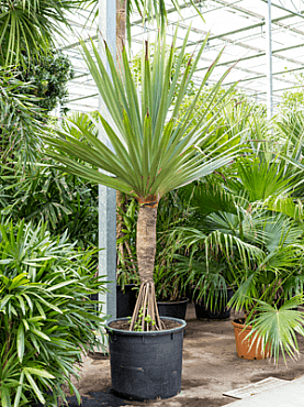 Pandanus utilis D170xH375 cm Hala - Planta care inteapa mana - Palmierul surub