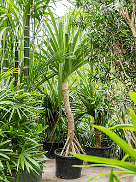 Pandanus utilis D340xH400 cm Hala - Planta care inteapa mana - Palmierul surub