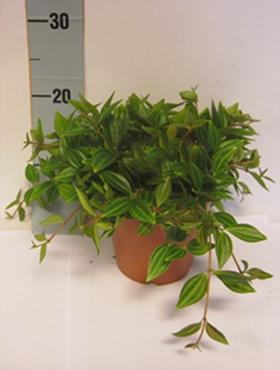 Peperomia angulata 30 cm